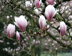 Tulpenmagnolien