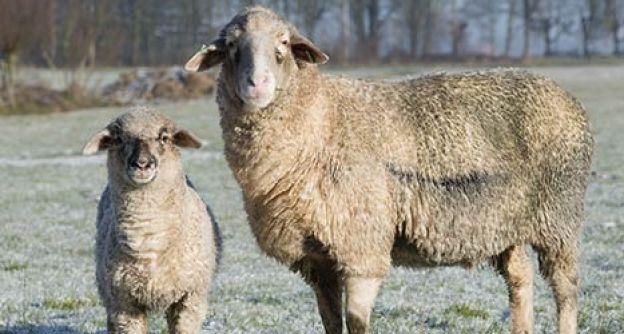 Schafe im Frost