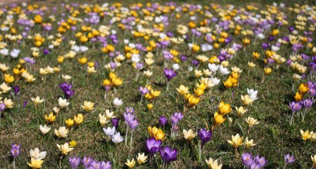 Krokuswiese März