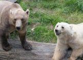 Cappuccino-Bären als Folge des Klimawandels