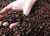 Große Trockenheit: Schlechte Kaffee-Ernte in Brasilien