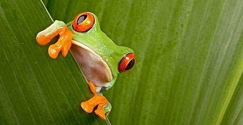 Frosch hinter einem Blatt
