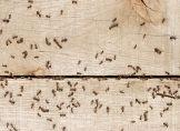 Kreide, Thymian, Zitrone: Was Ameisen vertreibt