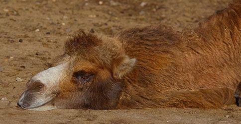 Ein Kamel liegt platt in der Sonne