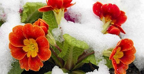 Primeln im Schnee (dapd)