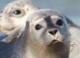 Vogelgrippe erreicht Seehunde in Niedersachsen
