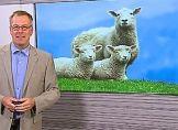 Fast schon Schafskälte im August