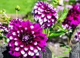 Dahlien brauchen während der Blüte Nährstoffe