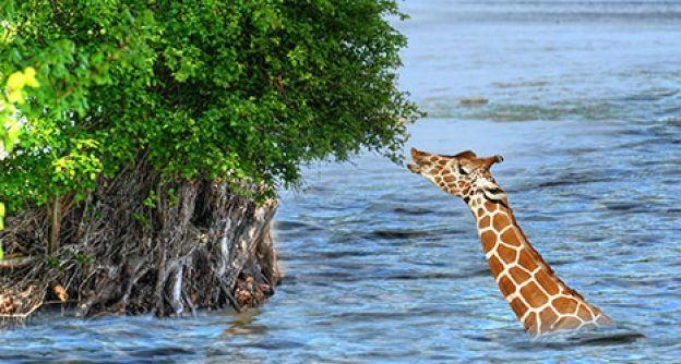 Giraffe im Wasser
