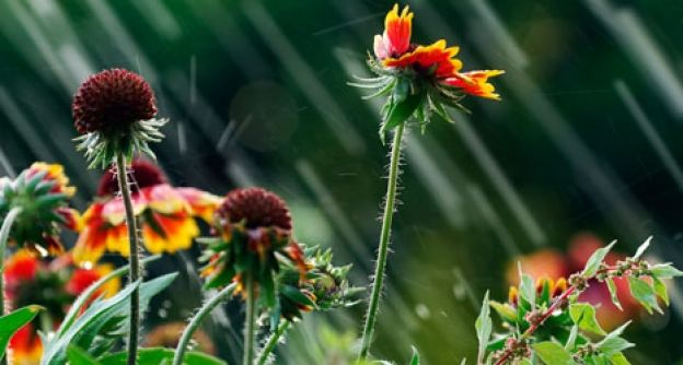 Echinacea im Regen