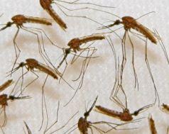 Malaria, Krankheit, Mosquitos, Mücken (Adam M. Richman / Sanaria Inc. / AFP)
