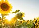 Sonnenblume lässt Kopf nur nachts hängen