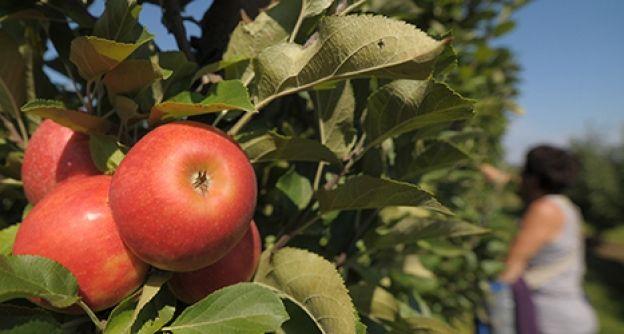 Apfel Ernte dapd