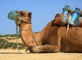 MERS: Kontakt zu Kamelen meiden